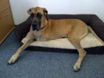 Sarah, Deutsche Dogge 5 Jahre
